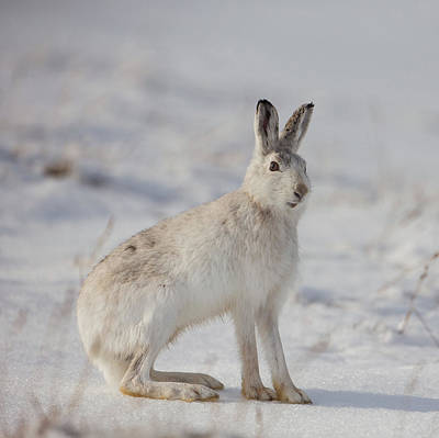 Photograph - Mountain Hare Sits In Snow by Peter Walkden