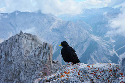 Photograph - Mountain Jackdaw by Lukas Kerbs
