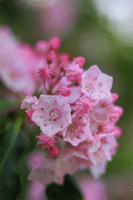 Photograph - Mountain Laurel Painting by Carol Montoya