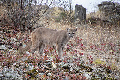 Photograph - Mountain Lion In The Fall 6376 by Teresa Wilson