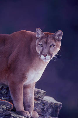 Digital Art - Mountain Lion In The Rockies by Mark Miller