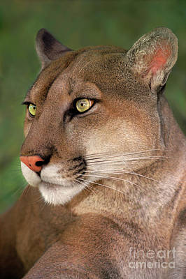 Art Print featuring the photograph Mountain Lion Portrait Wildlife Rescue by Dave Welling