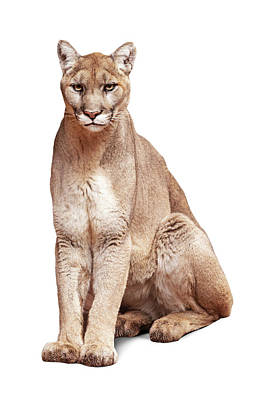 Mountain Royalty-Free and Rights-Managed Images - Mountain Lion Named Sierra by Susan Schmitz