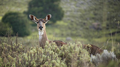 Photograph - Mountain Nyala grazing in the grasslands in Ethiopia by Jwngshar Narzary