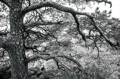 Photograph - Mountain Pine Tree Monochrome. Bohemian Switzerland by Jenny Rainbow