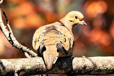 All American - Mourning Dove in Autumn by Mary Ann Artz
