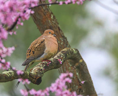 Beers On Tap - Mourning Dove On Redbud by Dan Sproul