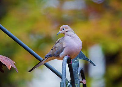 Photograph - Mourning Dove by Robert L Jackson