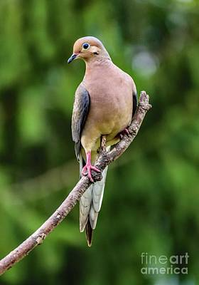 Science Tees Rights Managed Images - Mourning Dove Striking A Pose Royalty-Free Image by Cindy Treger