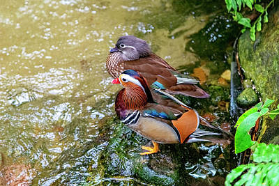Photograph - Mr And Mrs Mandarin Duck by Kay Brewer