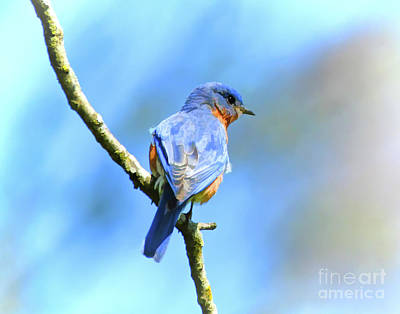 Photograph - Mr Bluebird - Male Bluebird Art by Kerri Farley