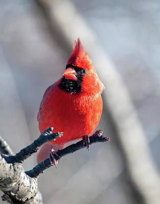 Photograph - Mr. Handsome Cardinal by Lara Ellis