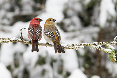 Photograph -  Mrs And Mr Pine Grosbeak  by Mircea Costina Photography