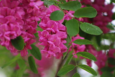 Photograph - Mulberry Pink Flowers On Locust Tree In Rain by Colleen Cornelius
