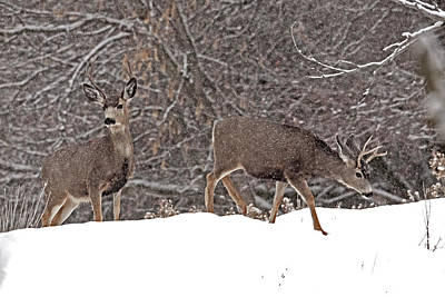 Animal Watercolors Juan Bosco - Mule Deer 4787  Odocoileus Hemionus  by Michael Trewet