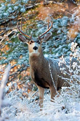 Photograph - Mule Deer Buck On Snowy Day by Steve Krull