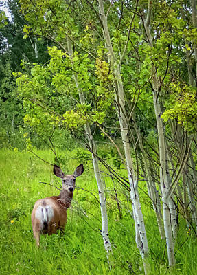 Photograph - Mule Deer Doe by Philip Rispin