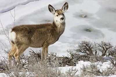 Photograph - Mule Deer Odocoileus Hemionus In Winter by Danita Delimont