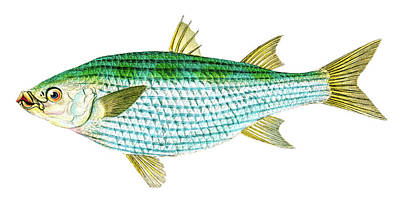 Animals Drawings - Mullet Mugil Cephalus by David Letts