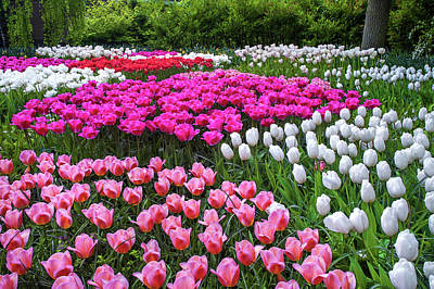 Photograph - Multicolored Lawn With Blooming Tulips by Jenny Rainbow