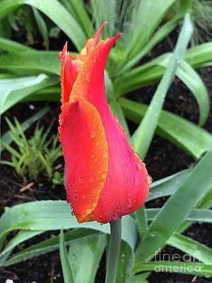 Photograph - Multicolored Tulip by Suzanne Lorenz