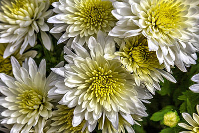 Photograph - Mums by CarolLMiller Photography