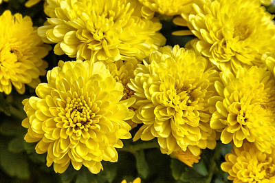 Photograph - Mums Too by CarolLMiller Photography