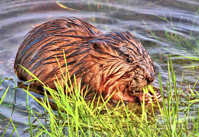 Photograph - Muskrat Munchies by Debbie Stahre