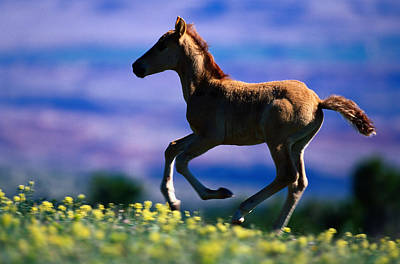 Photograph - Mustang Foal Equus Caballus Running by Eastcott Momatiuk