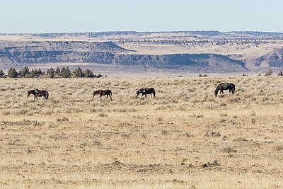 Photograph - Mustangs On Steens Mountain by Belinda Greb