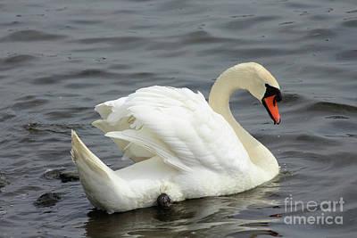 Farm Life Paintings Rob Moline - Mute Swan Donegal Ireland 182 by Eddie Barron