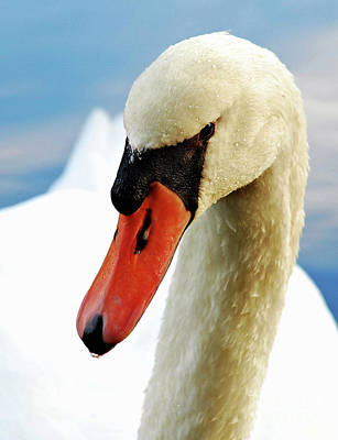 Photograph - Mute Swan by Debbie Stahre