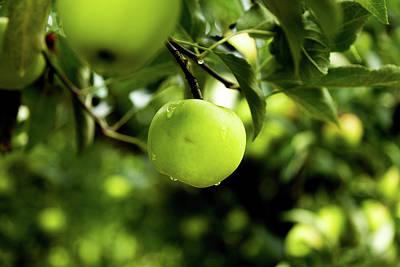 Mutsu Apple Original