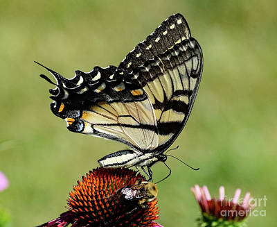 Christmas Christopher And Amanda Elwell - Mutual Attraction - Eastern Tiger Swallowtail And Bumble Bee by Cindy Treger