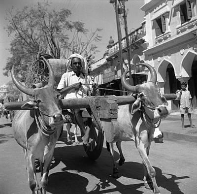 Karnataka Photograph - Mysore Oxen by Three Lions