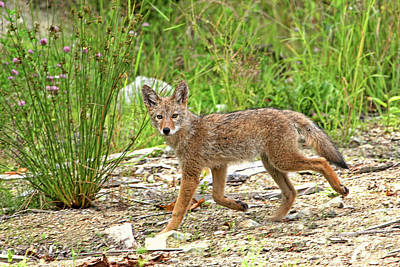 Photograph - Mystic Coyote by Peggy Collins
