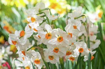 Photograph - Narcissus Geranium by Jenny Rainbow