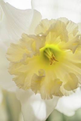 Photograph - Narcissus Ice Follies Macro 1 by Jenny Rainbow