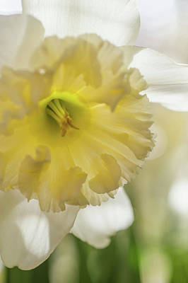 Photograph - Narcissus Ice Follies Macro 2 by Jenny Rainbow