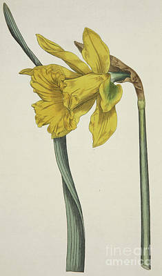 Painting - Narcissus Major  Great Daffodil by English School