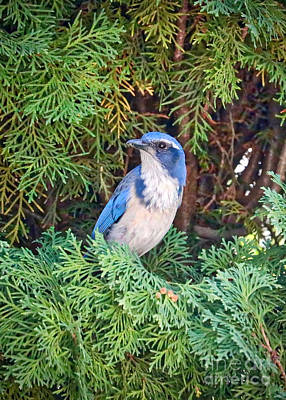 Photograph - Naturally Framed Scrub Jay by Carol Groenen