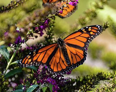 Angels And Cherubs - Natures Perfect In A Male Monarch Butterfly by Cindy Treger