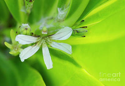 Photograph - Naupaka Flower by Charmian Vistaunet
