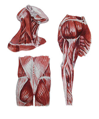 Painting - Neck Arm Gluteus Maximus Muscles Anatomy Study by Irina Sztukowski
