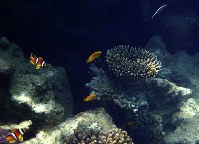 Photograph - Nemos Adventures With The Damselfish by Johanna Hurmerinta