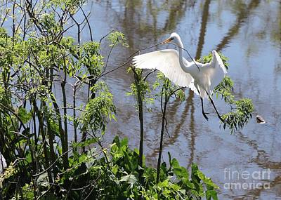 Photograph - Nest Building Great Egret Over Blue Water by Carol Groenen