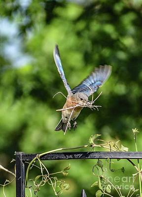 Studio Graphika Literature - Nesting Eastern Bluebird by Cindy Treger