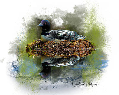 Grace Kelly - Nesting Loon by Rick Blood