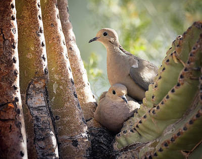 Photograph - Nesting Morning Doves  by Saija Lehtonen