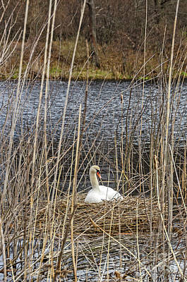 Photograph - Nesting Mute Swan by Sue Smith